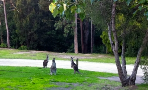 Kangaroos at Shady Gully Caravan Park