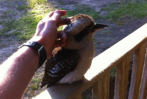Kookaburra at Shady Gully Caravan Park