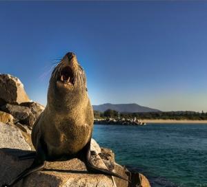 Seal in Narooma, NSW. Photo: DutchAdventurer