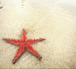 Starfish, Narooma Beach, NSW. Photo: LynPatricia