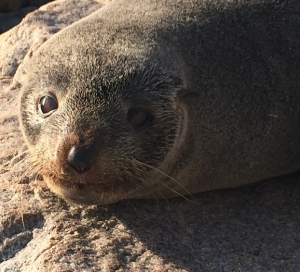 Seal, Narooma, NSW. Photo: SteveTammy
