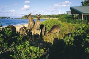 kangaroos at Murramarang Beachfront Holiday Resort, NSW, Australia