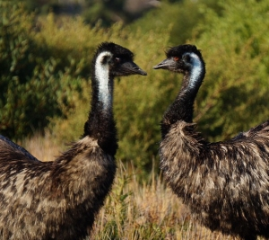 Emus at Wilson Prom, VIC