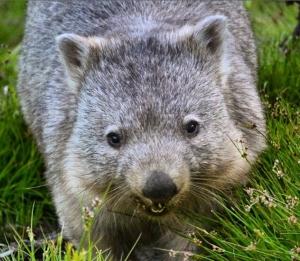 Wombat, Wilsons Prom.