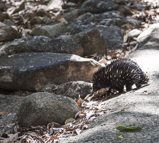 On the way to Behana Gorge. Echidna. Photo: AliksYung