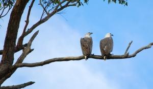 meroo National Park, eagles