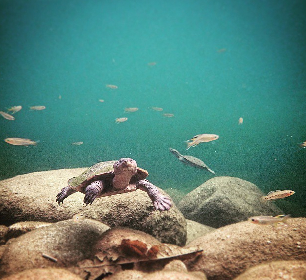 Turtles and fish like swimming at Babinda Boulders, too! Photo: MKaldy