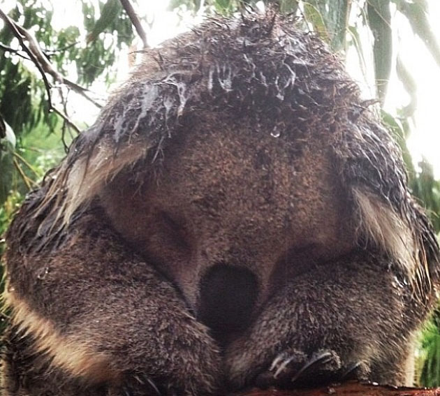 Getting wet. Phillip Island koala. Photo: AndyDallinger