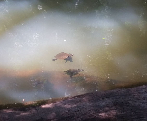 Turtles at Malanda Falls swimming hole on the Atherton Tablelands near Cairns, Australia. Photo:  AngelaLouise89