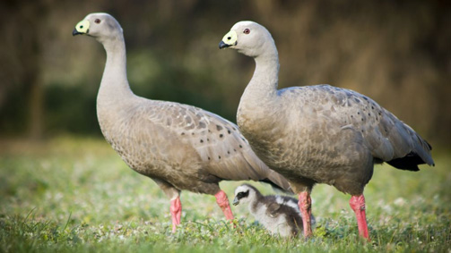 Cape Barren Geese, Phillip Island, Victoria, Australia. Photo: PhillipIslandNP