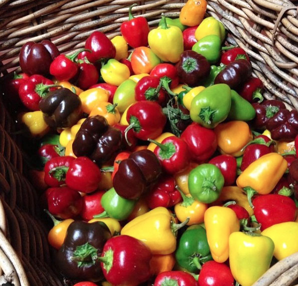 Chili harvest at Heronswood, Dromana. Mornington Peninsula, Victoria, Australia. Photo: SmileWithHealth