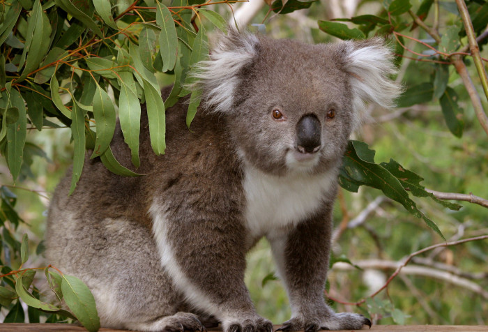 A Phillip Island koala. Photo: Koala Conservation Centre, Phillip Island