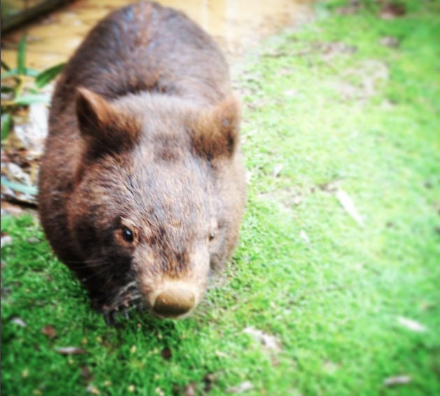 Wombat, Phillip Island, Victoria, Australia. Photo: MarcNewport