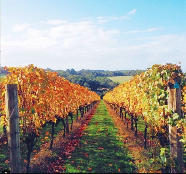 Montalto Vineyard and Olive Grove near Red Hill South, Mornington Peninsula, Victoria, Australia. Photo: LoveAndRich