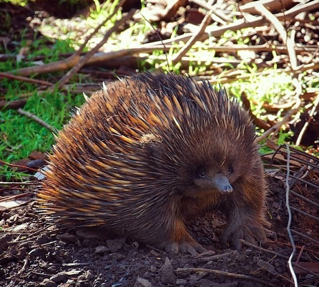 Echidna, Phillip Island, Victoria, Australia. Photo: PhillipIsland