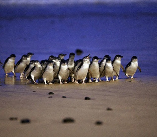Parade of penguins, Phillip Island, Victoria, Australia. Photo: PhillipIsland