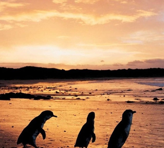 Penguins, Phillip Island, Victoria, Australia. Photo: PhillipIslandNP