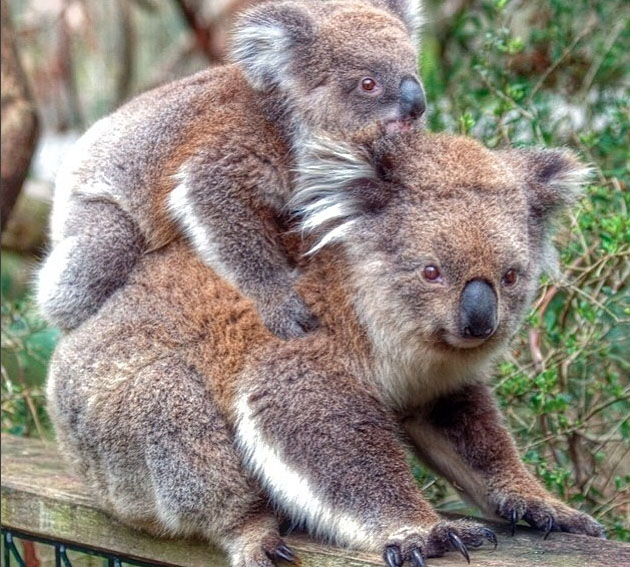 koala, Phillip Island, Victoria, Australia. Photo: PhillipIslandNP