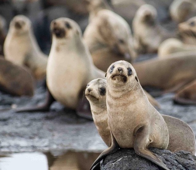 Australian fur seals, Phillip Island, Victoria, Australia. Photo: PhillipIslandNP