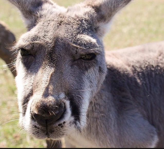 Kangaroo, Phillip Island, Victoria, Australia. Photo: ViktorKidson