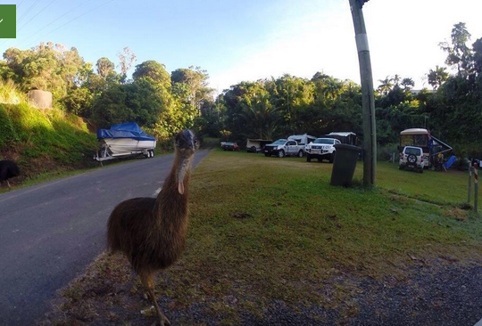 Cassowary at Etty bay Caravan Park, Queensland, Australia. Photo: Trip Advisor