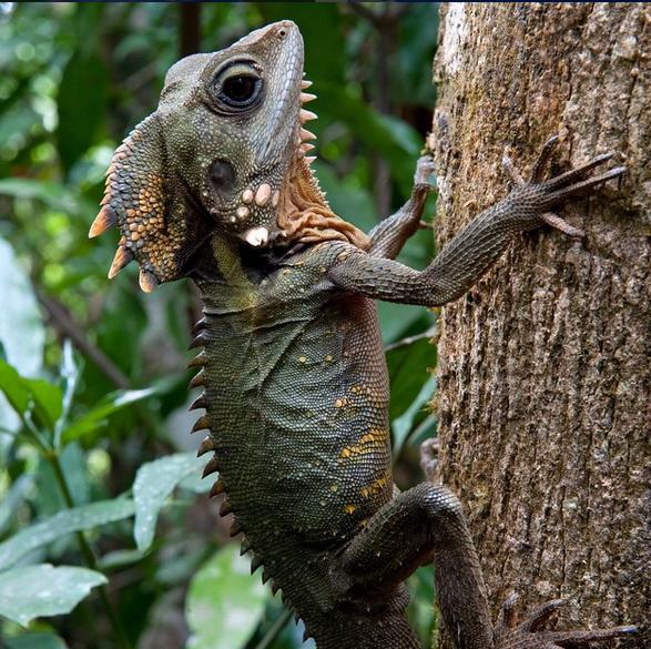 Boyd's Forest Dragon at Ellinjaa Falls, Queensland, Australia. Photo: KenGoldsteinPhoto