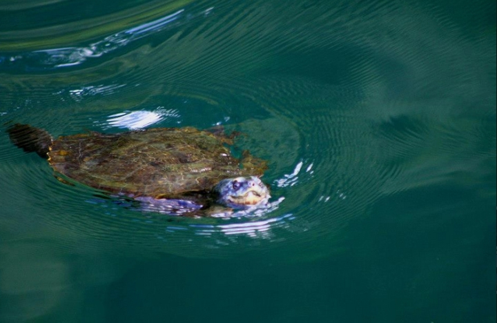Turtle in Lake Barrine, North Queensland, Australia. Photo: Lakebarrine.com.au