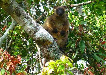 Tree kangaroo at Malanda Falls Caravan Park, Malanda, Queensland, Australia. Photo: Malanda Falls Caravan Park