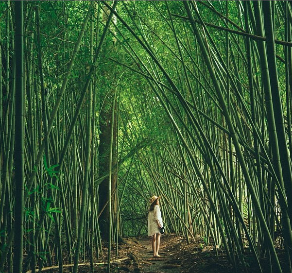 Bamboo grove at Paronella Park, Queensland, Australia. Photo: NoDoTel_