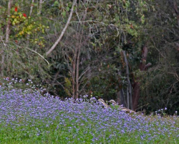 Two bush stone curlews stalking through the wildflowers at School Point camping area on Lake Tinaroo, Atherton Tablelands, Queensland, Australia. Photo: Bazman63.wordpress.com