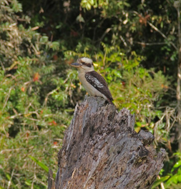 Kookaburra at School Point camping area on Lake Tinaroo, Atherton Tablelands, Queensland, Australia. Photo: Bazman63.wordpress.com