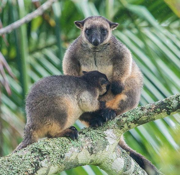 Lumholtz Tree Kangaroo, Wooroonooran National Park, North Queensland, Australia. Photo: Bruce.Thomson