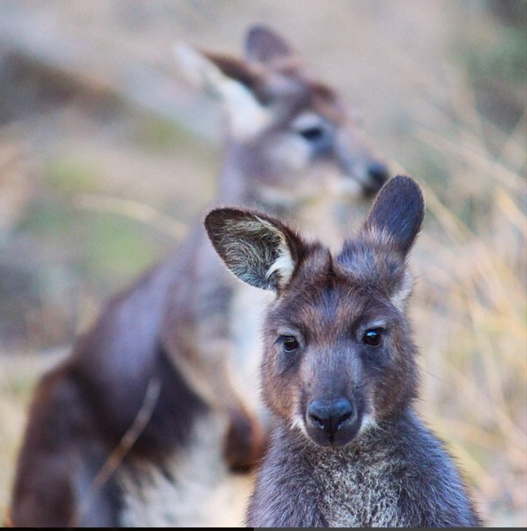 Wallabies, Blue Mountains, Australia. Photo: AtKini