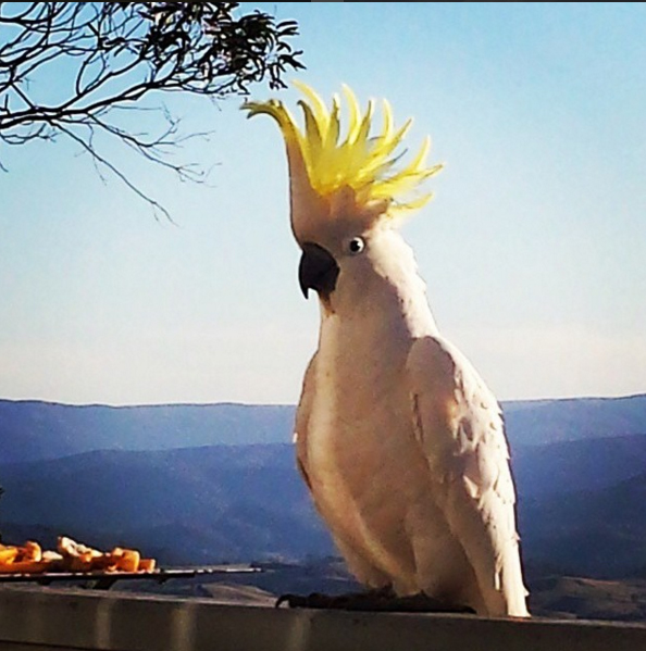 Cockatoo, Blue Mountains, Australia. Photo: BexterDownUnder