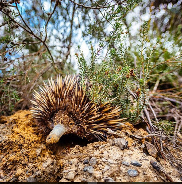 Echidna, Blue Mountains, Australia. Photo: FootlooseFotography