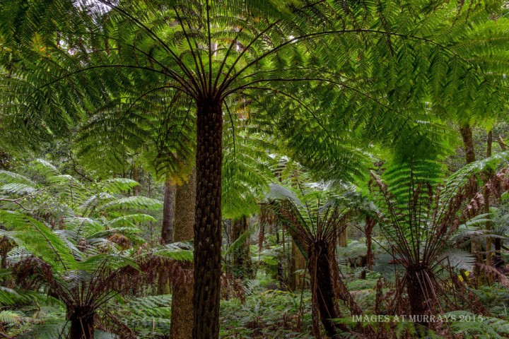 Cathedral of Ferns near Cathedral Reserve: Free camping Blue Mountains. Photo: Images at Murrary