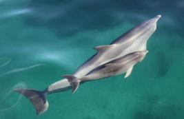 Dolphin watching, Glenelg