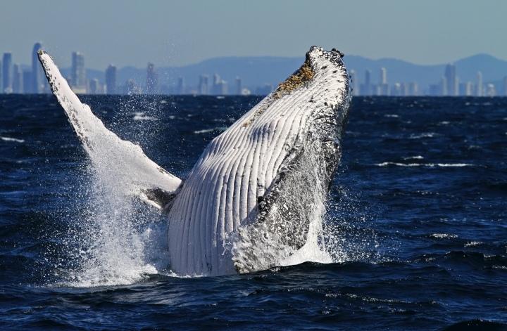 Collangatta-whale-watching