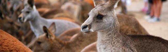 kangaroo_banner1